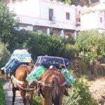 Mule carryng luggage